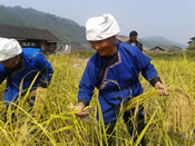 A farmer from Liping County of Guizhou Province is harvesting a traditional crop of sticky rice