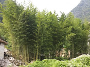 The natural environment of Mashan fits bamboo which is why bamboo can be cultivated for restoring the local ecology